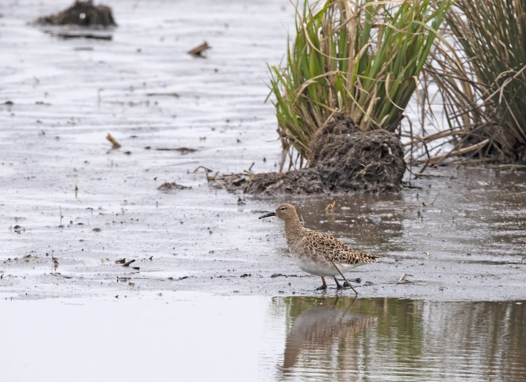 female ruff in the Weerribben the Netherlands.